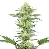 White Gorilla Haze (White Label) feminized