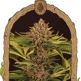 Strawberry Cola Auto (Exotic Seed) feminized