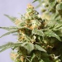 Smile (Kannabia) feminized