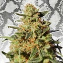White Domina (Kannabia) feminized