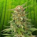 Ginger Punch Auto (Kannabia) feminized