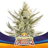 Orange Blossom XXL Auto (BSF Seeds) feminized