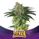 Lebron Haze (BSF Seeds) feminized