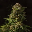 Fallen Angel (Devil's Harvest) feminized