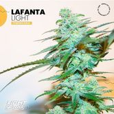 Lafanta Light (Light Buds) feminized
