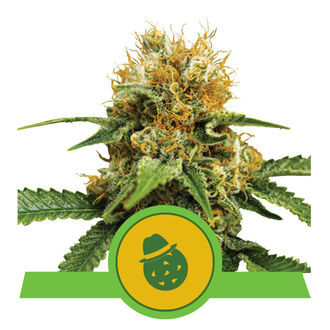 Do-Si-Dos Automatic (Royal Queen Seeds) Feminized