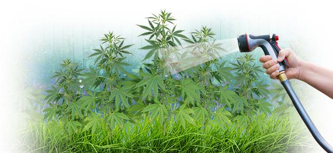 Is Kraanwater Geschikt Voor Cannabis?