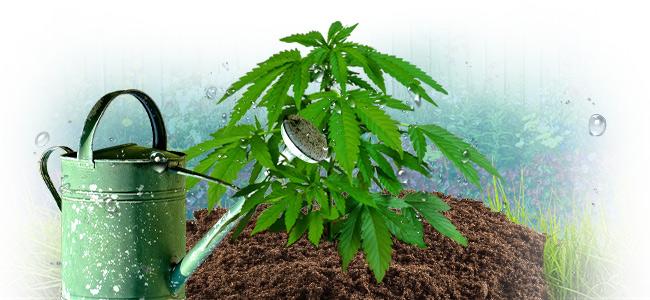 Wat Is De Correcte Manier Om Cannabis Te Bewateren?