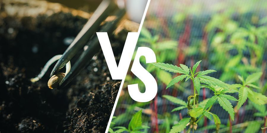 Maakt het wat uit of je uit zaden kweekt of stekjes gebruikt?