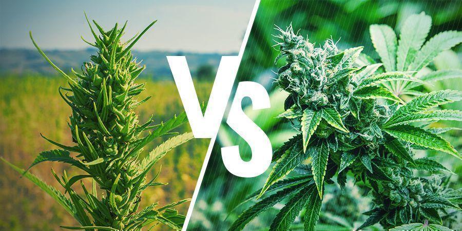 Uiterlijk Cannabis