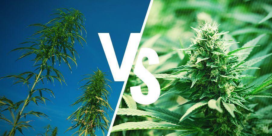 Teelt Cannabis