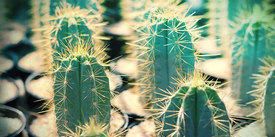 Wat Is Bolivian Torch? De Cactus Van De Vier Winden