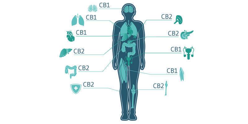 Werken Cannabis Topicals Echt?