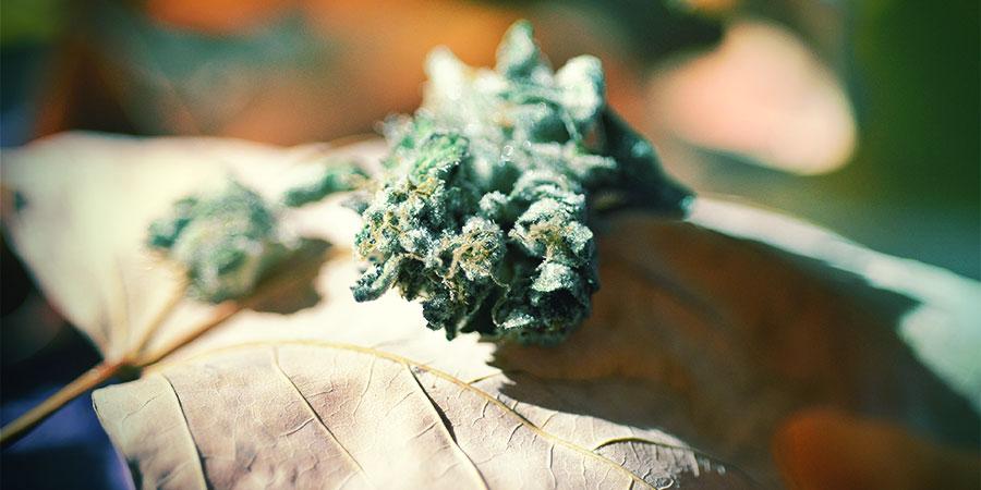 Bloeitijd Cannabis