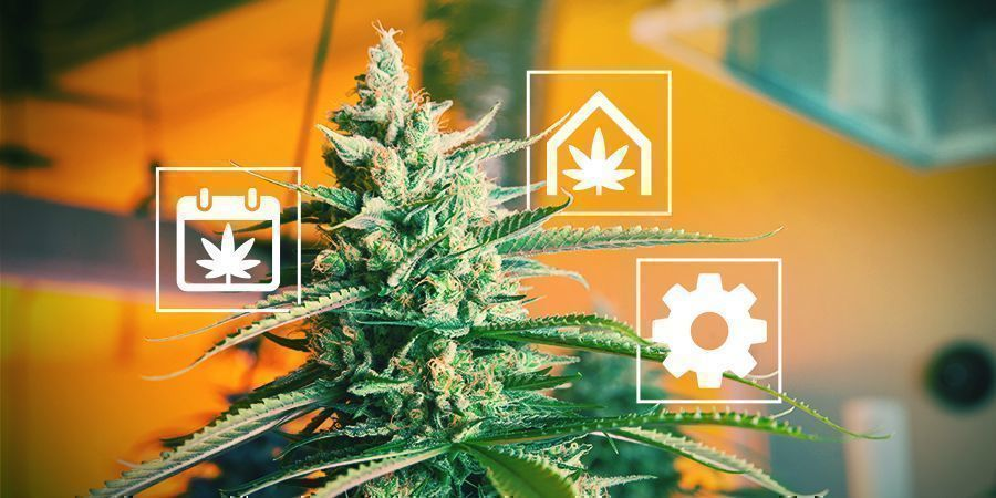 Tips Voor Het Kweken Van Cannabis In Het Verenigd Koninkrijk