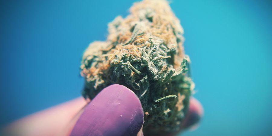 Cannabis Hoe Kleveriger Hoe Beter