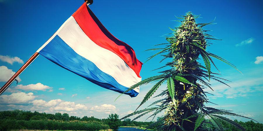 Cannabis Kweken In Het Hollandse Klimaat
