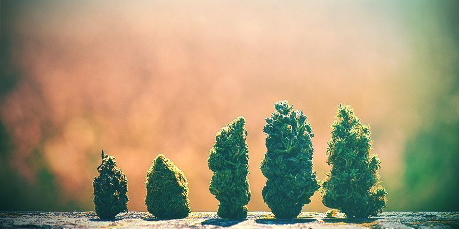 Hoe Kies Je De Juiste Cannabissoort Voor Nederland?