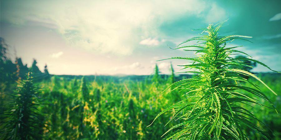 Tips Voor Het Kweken Van Cannabis In Nederland