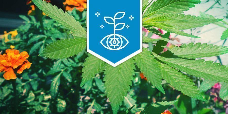 Cannabis Als Combinatie Plant