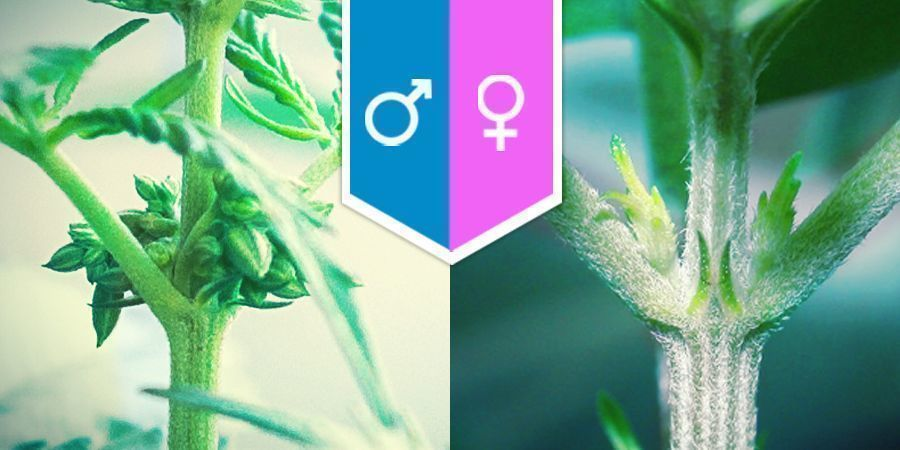Cannabis Seksualiteit