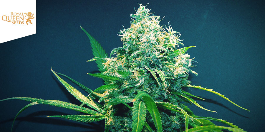 Lemon Haze Royal Queen Seeds