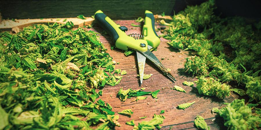 Tips voor het gebruik van een snoeischaar bij wietplanten: Schraap overtollige hars weg
