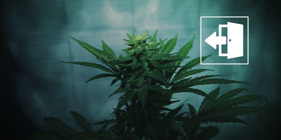 De Bloei Forceren Bij Cannabisplanten In De Buitenlucht