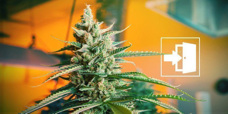 Binnen Cannabis Kweken