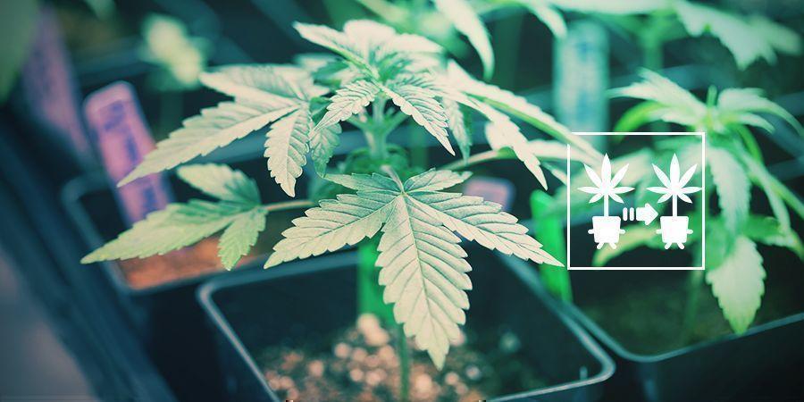 Gebruik Cannabis Klonen