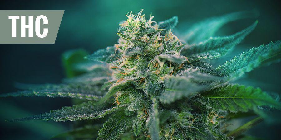 DE BESTE THC-RIJKE STRAINS VOOR PIJNSTILLING