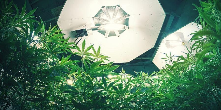 Cannabis Verlichting En Ph Bij De Wortels