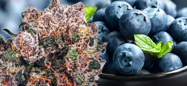 Blueberry Dutch Passion