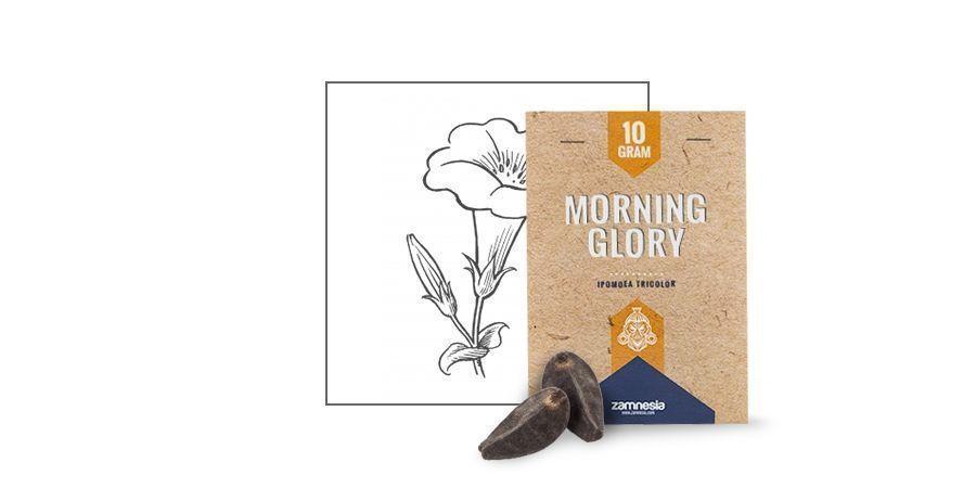 MORNING GLORY-ZADEN