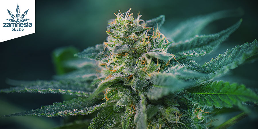 Super Silver Haze (Zamnesia Seeds) Feminized