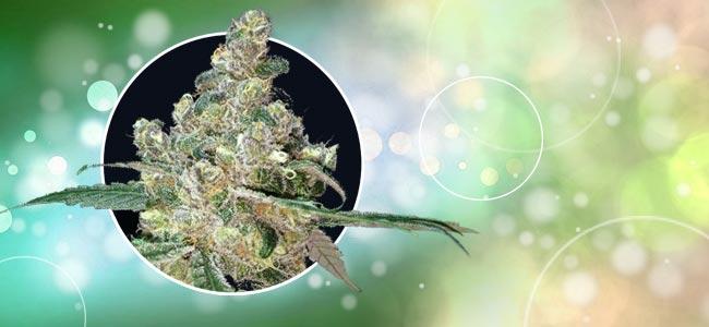 Vossenstaarten/foxtails Cannabis