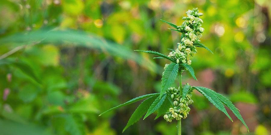 Mannelijke wietplanten bevruchten vrouwelijke planten