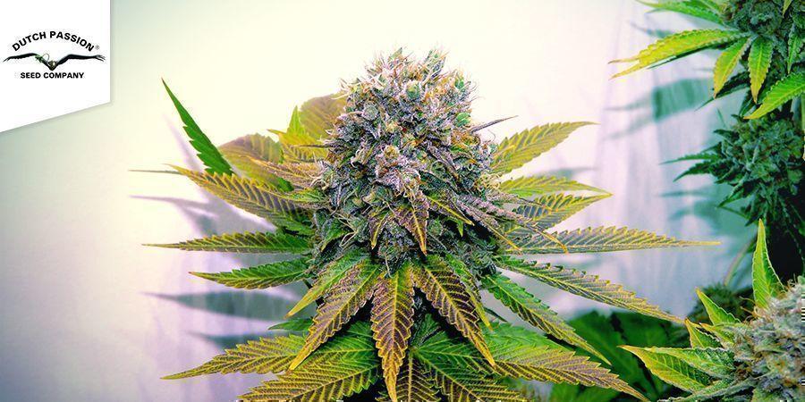Blueberry (Dutch Passion)