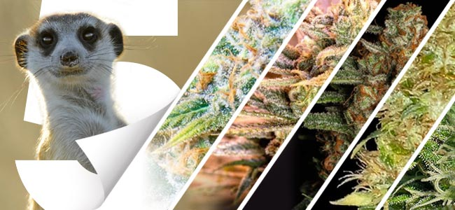 Top 5 Spliff Seeds Strains