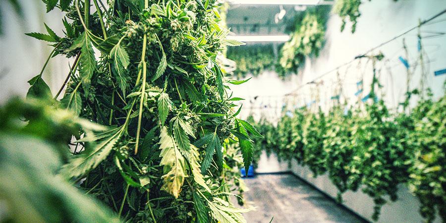 Wat Is Cannabis Droog Snoeien?
