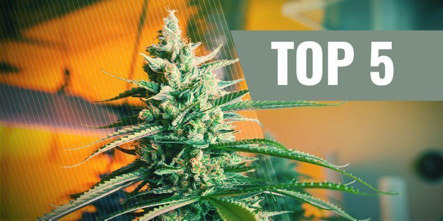 De 5 Beste Autoflowering Cannabiszaden Voor Binnen