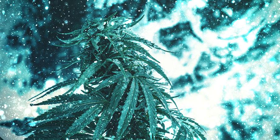 Feestelijke Kerst Cannabissoorten