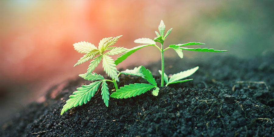 Gerecyclede Biologische Levende Grond (ROLS) - Cannabis