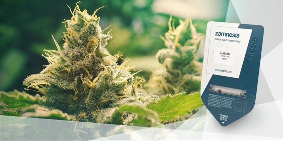 Hoe Maak Je Cannabisthee?