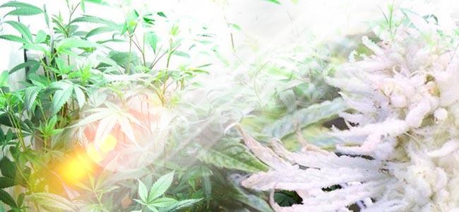 Wat Is De Oorzaak Van Albinisme Bij Cannabisplanten?