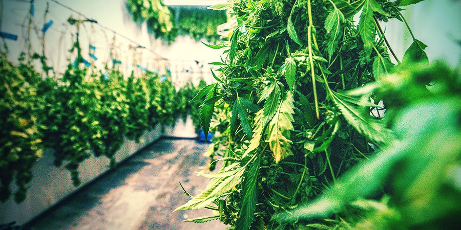 Cannabis Drogen En Curen