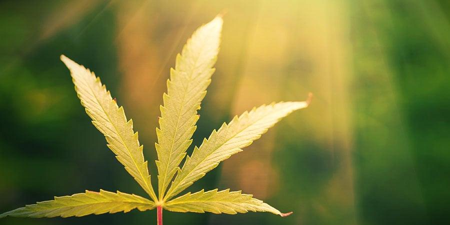 Zonlicht En Cannabis