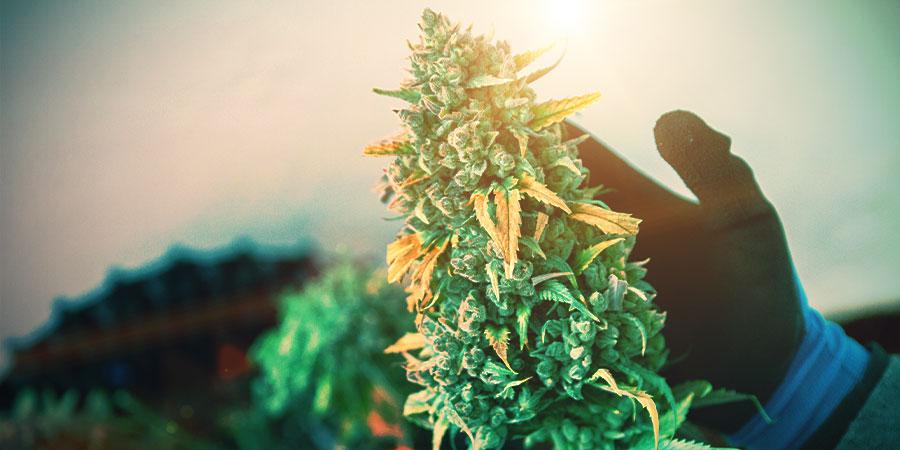 Cannabis Tijdens De Bloeiperiode