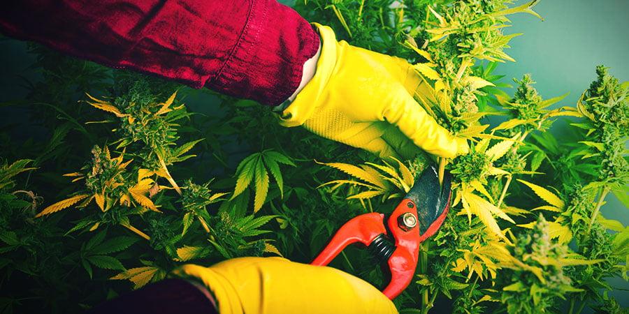 Wanneer En Hoe Oogst En Droog Je Cannabis