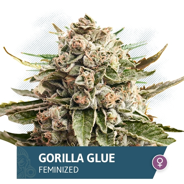 Gorilla Glue Automatic